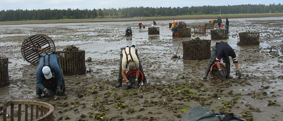 Shellfish harvesters reap oysters from an aquaculture site.