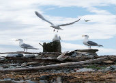 Gulls in Smith and Minor Islands Aquatic Reserve