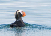 Puffins Smith Minor Reserve