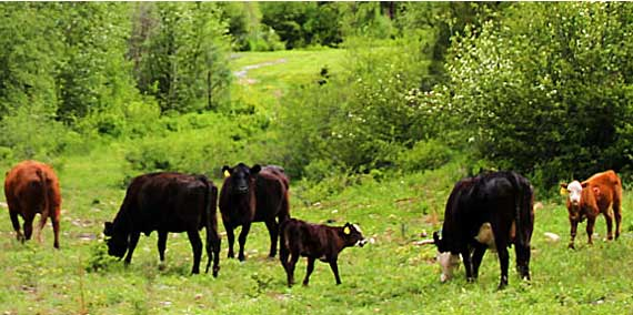 Cattle grazing in a field