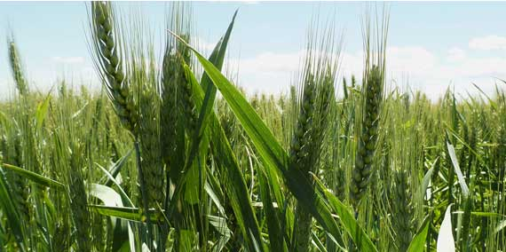 Color photo of green wheat