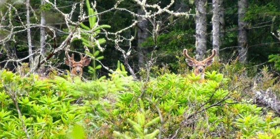 Color Photo of 2 healthy bucks blend in with brush and rhododendrons