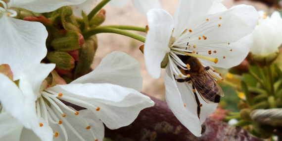 Bee visits cherry tree blossoms in cherry orchard.