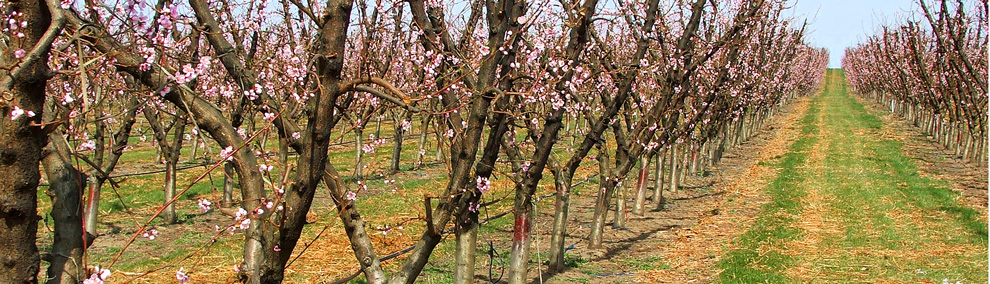 color photo of orchard and pink blossoms