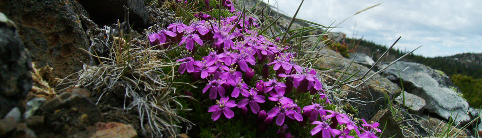 Color photo of purple Moss Campion at rocky outcrop in Chopaka Natural Area Preserve