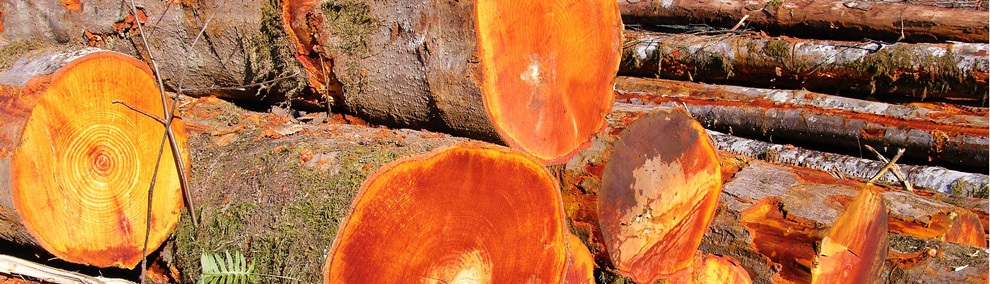 Color photo of freshly cut logs