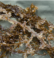 Pacific herring eggs on Sargassum