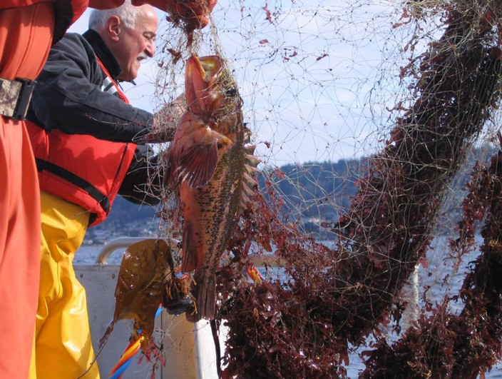 Rockfish caught in derelict net,