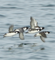 Ancient murrelets in Protection Island Aquatic Reserve