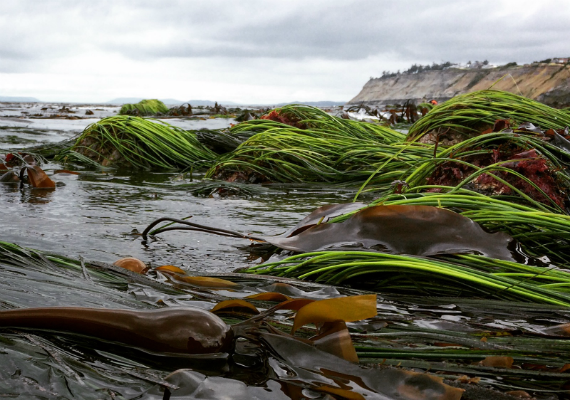 Bull kelp and seagrass at Libbey Beach