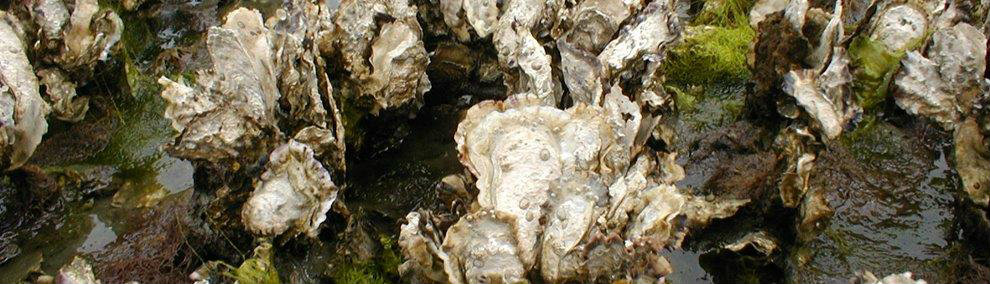 DNR leases the rights for private companies to grow and harvest many types of shellfish, like Olympia oysters -- DNR photo