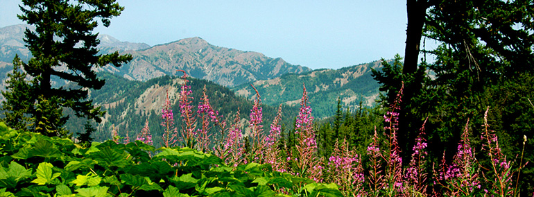 Color photo of fireweed, conifers and viewscape in Teanaway Community Forest